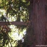 Taxus baccata-Tejo, detalle de tronco y ramas.