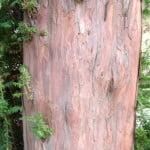 Taxus baccata-Tejo, detalle tronco.