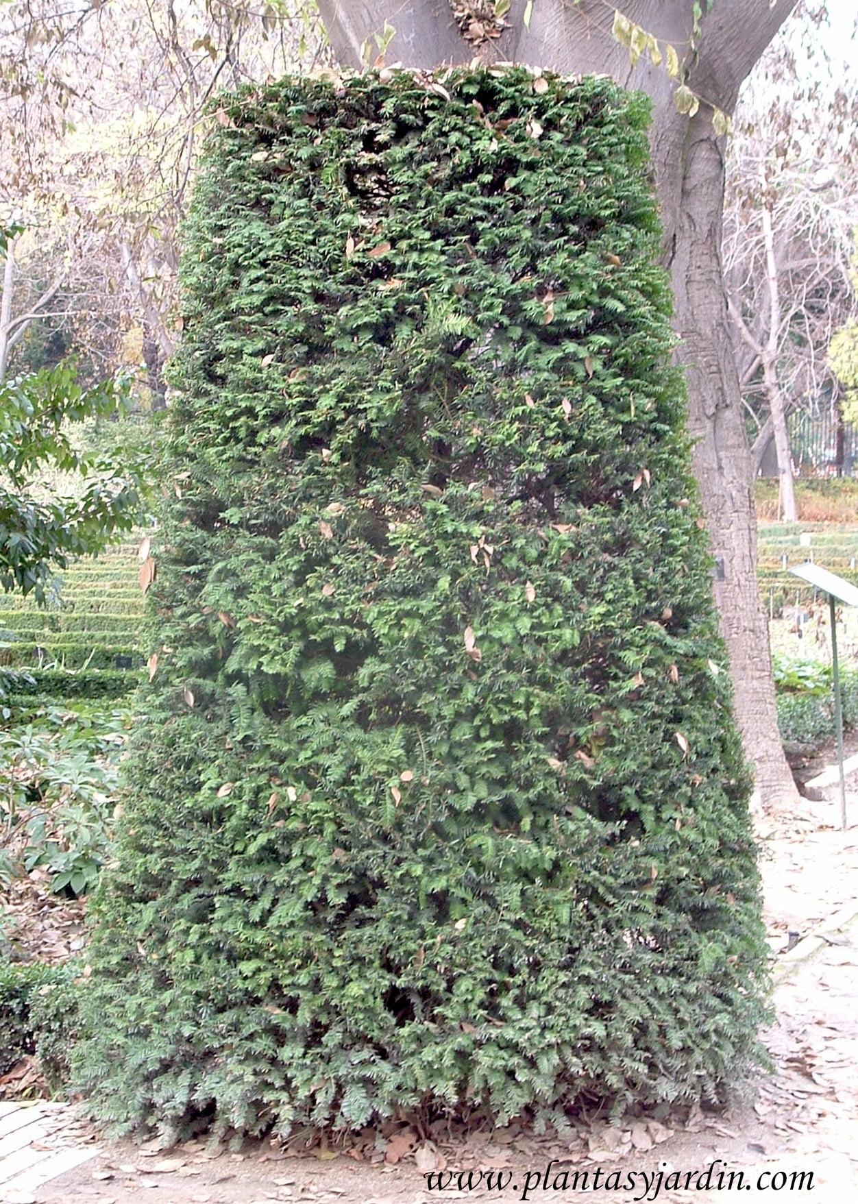 Taxus baccata-Tejo, en arte topiario.