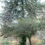 Taxus baccata-Tejo, en otoño.