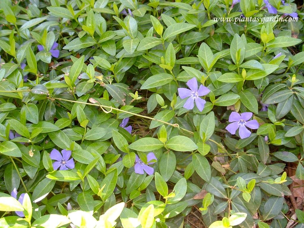Vinca major cultivada como tapizante-cubresuelo, en una gran extensión