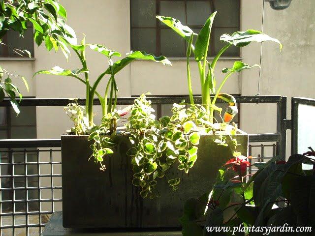 """Vinca major """"Variegada"""" en jardinera de fibrocemento con Zantedeschia aethiopica"""