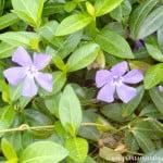 Vinca major flor en detalle