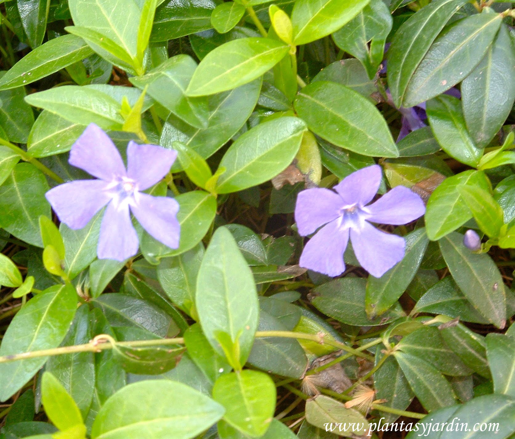 Vinca major hierba doncella plantas jard n for Vinca major
