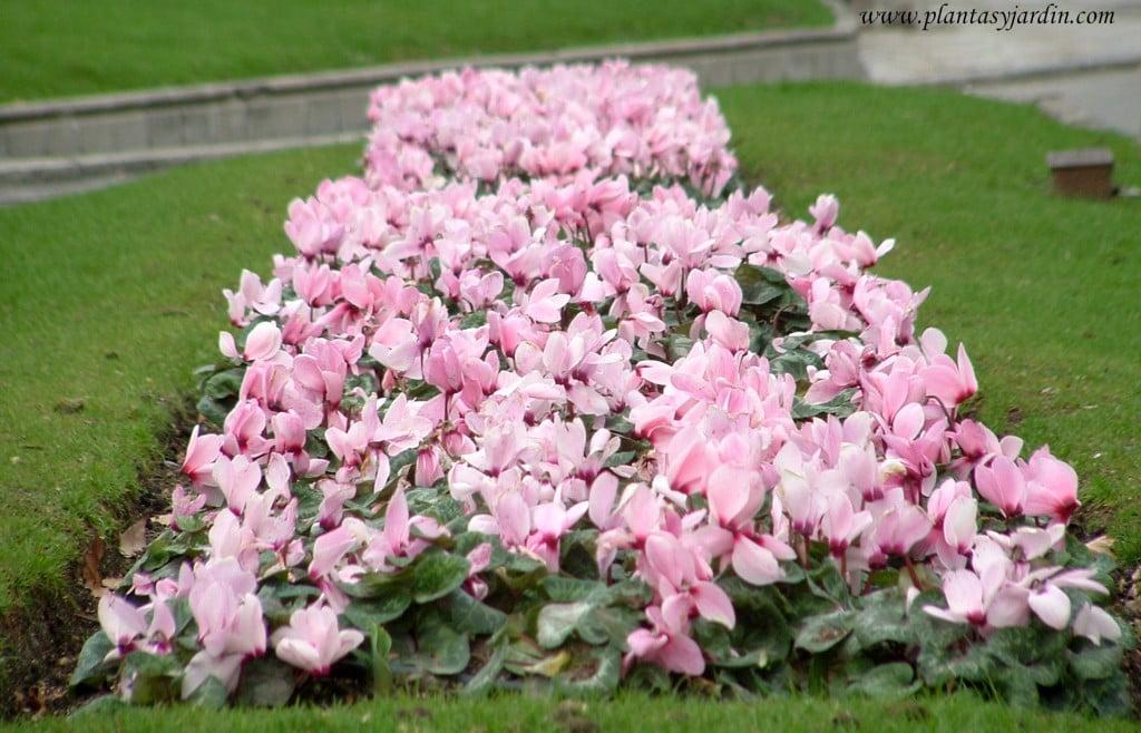 Violeta de los Alpes-Cyclamen persicum, for color rosa.