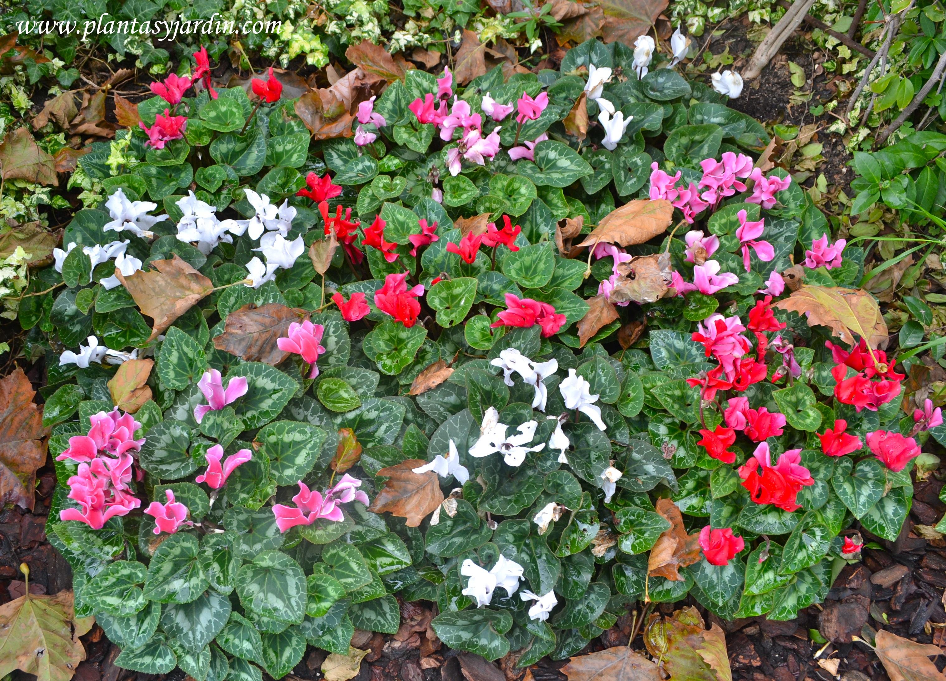 Plantines de invierno plantas y jard n - Plantas de invierno ...