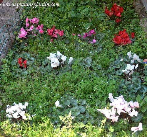 Cyclamen florecidas a comienzos de la primavera.
