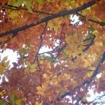 Zelkova carpinifolia-Olmo del Cáucaso, detalle de follaje en otoño