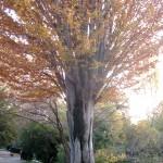 Zelkova carpinifolia-Olmo del Cáucaso, en otoño.
