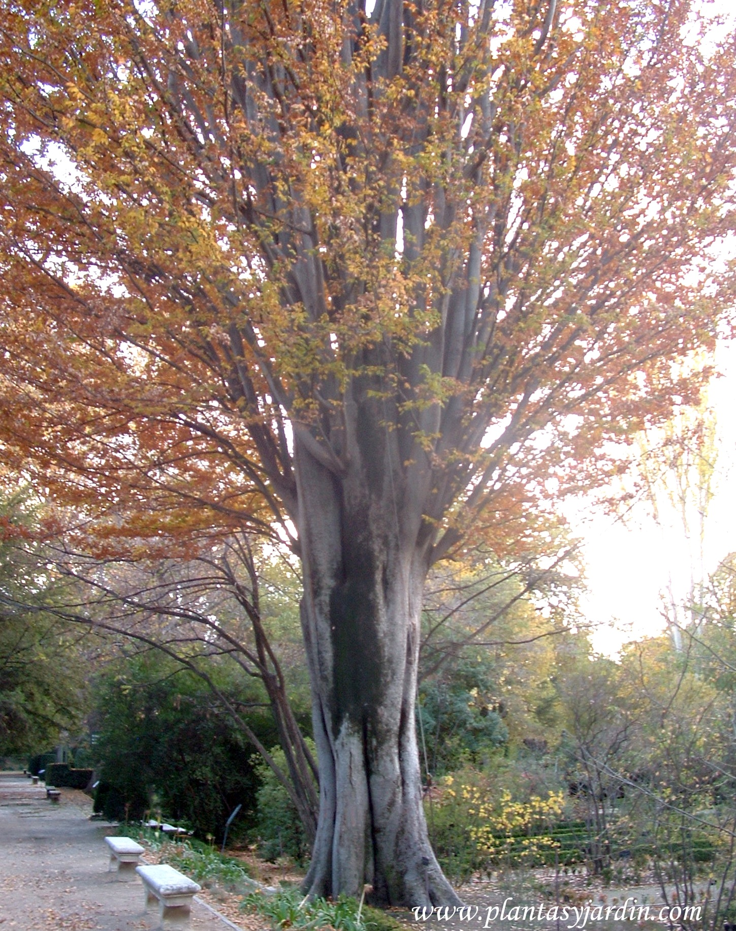 zelkova carpinifoliaolmo del c225ucaso plantas y jard237n
