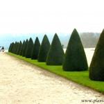 figuras geométricas de Taxus baccata-Tejo, en los jardines de Versalles.