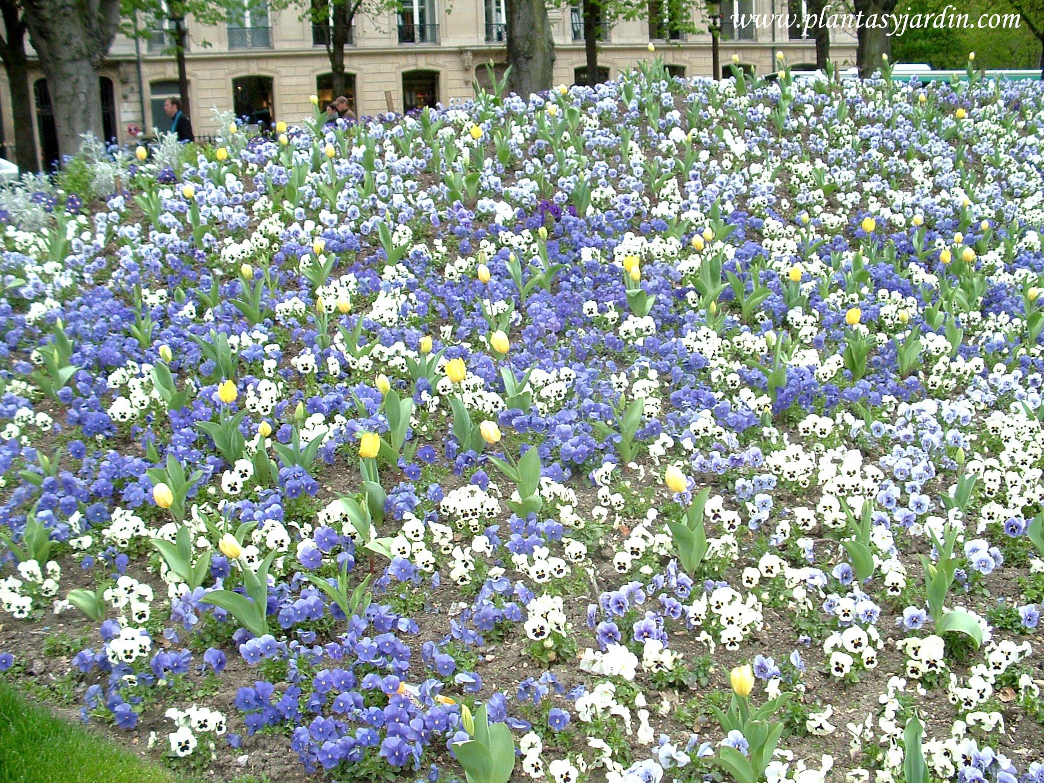 macizo floral de Pensamientos, a principios de la primavera, en las calles parisinas