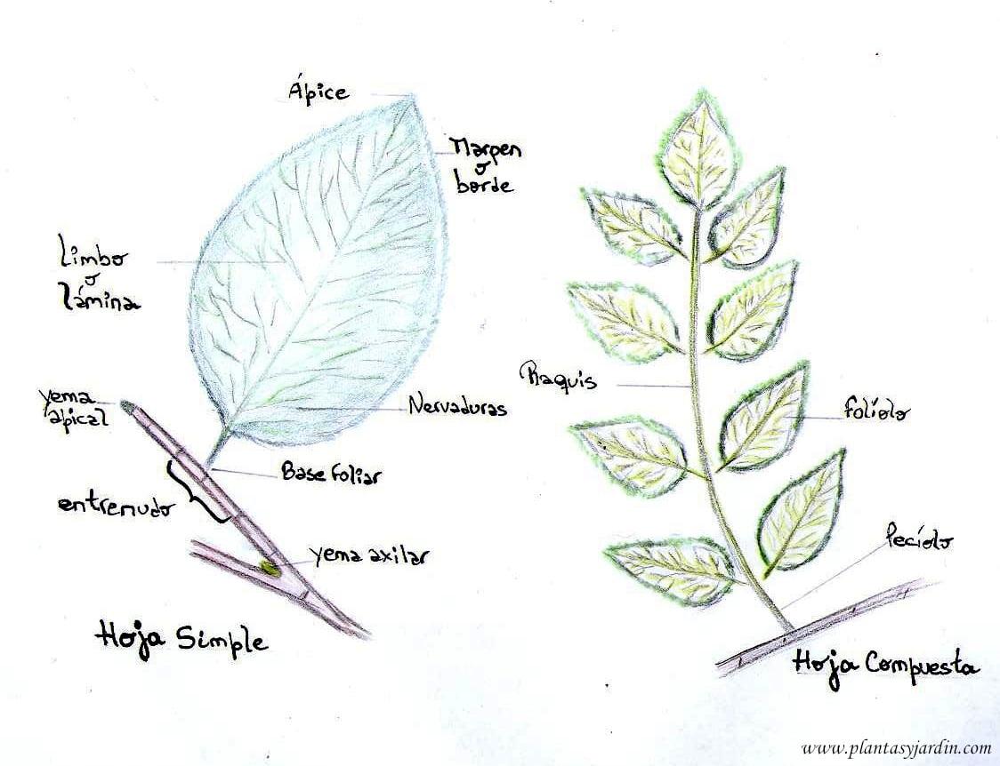 morfologia de la hoja.