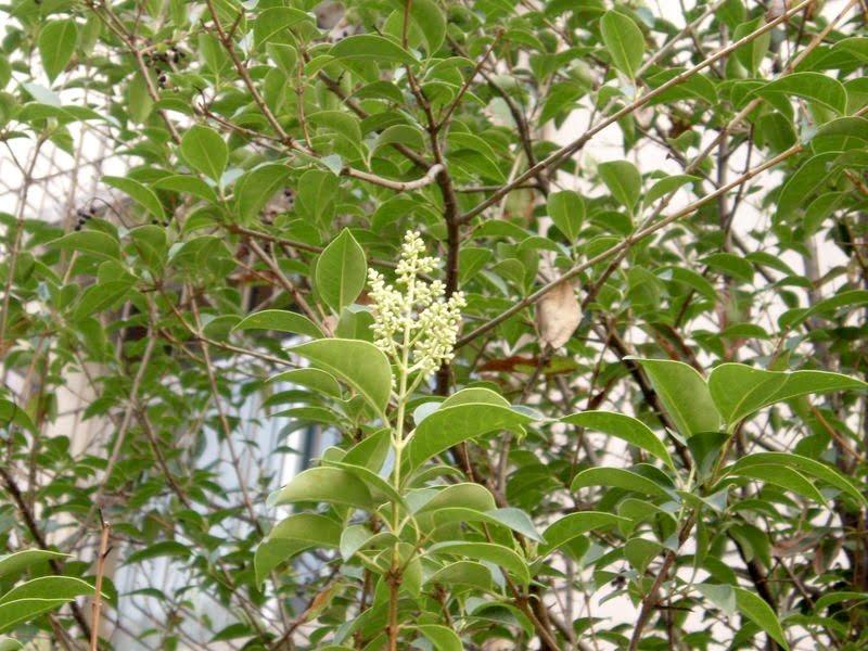 * Ligustrum lucidum florecido.