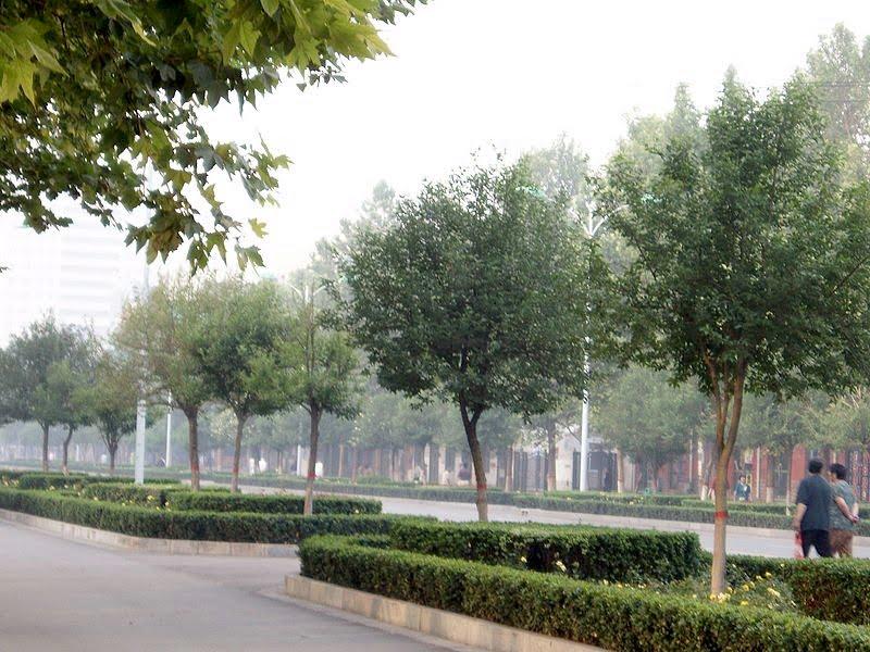 * Ligustrum lucidum cultivado como arbolito urbano en alineaciones.