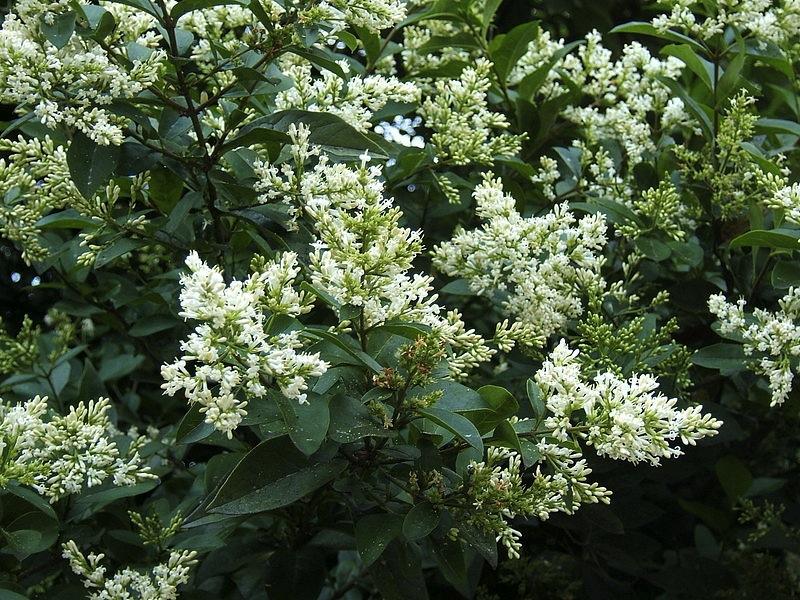 Ligustrum ovalifolium,florecido. Foto: Wikipedia.