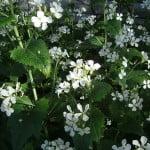 Lunaria annua de flores blancas. Foto: Wikipedia.