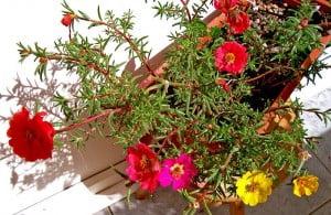 Portulaca_grandiflora. Foto: Wikipedia.