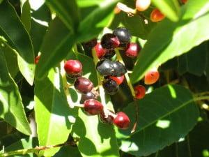* Prunus lusitanica, detalle de frutos.