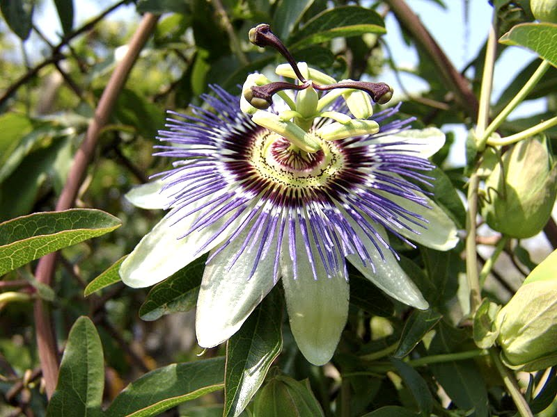 Passiflora caerulea, Pasionaria, Flor de la pasión, Maracuyá