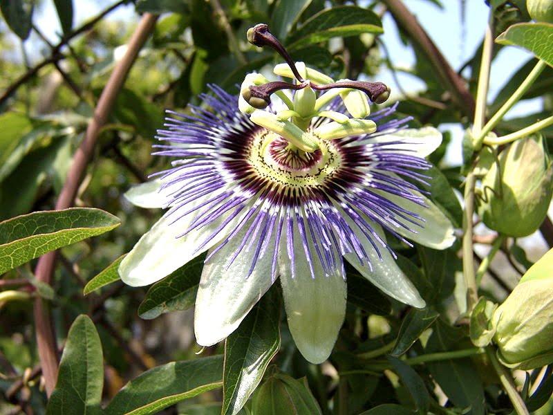 Passiflora caerulea. Foto: Wikipedia.