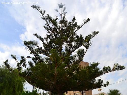 Araucaria araucana.
