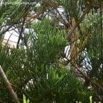 Araucaria detalle de follaje imbrincado.