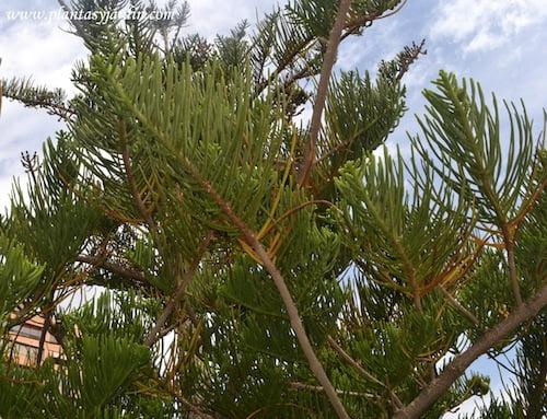 Araucaria detalle de ramas y follaje.