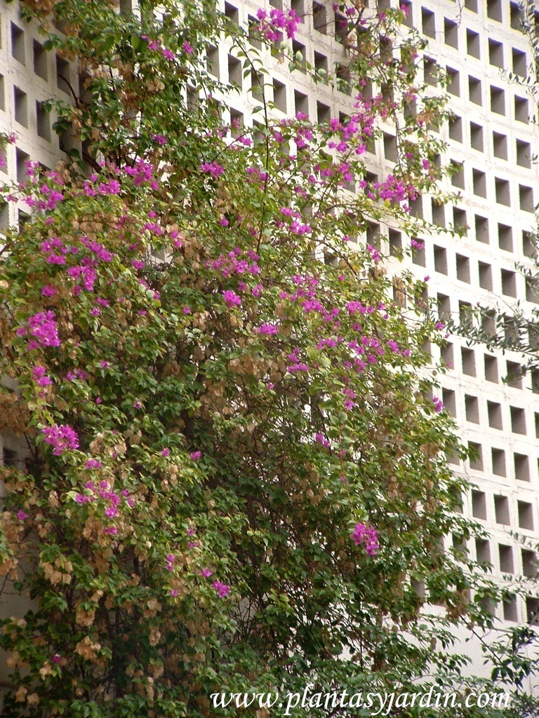 Bougainvillea spectabilis-Bungavillea, florecida a finales del otoño.