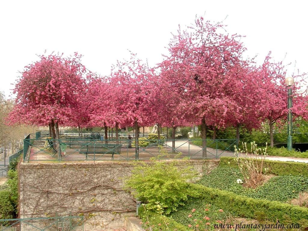 en este espacio de descanso, los Prunus, brindan una espectacular floración (prim.) y color de su follaje (verano) y permiten el paso del sol en el invierno.
