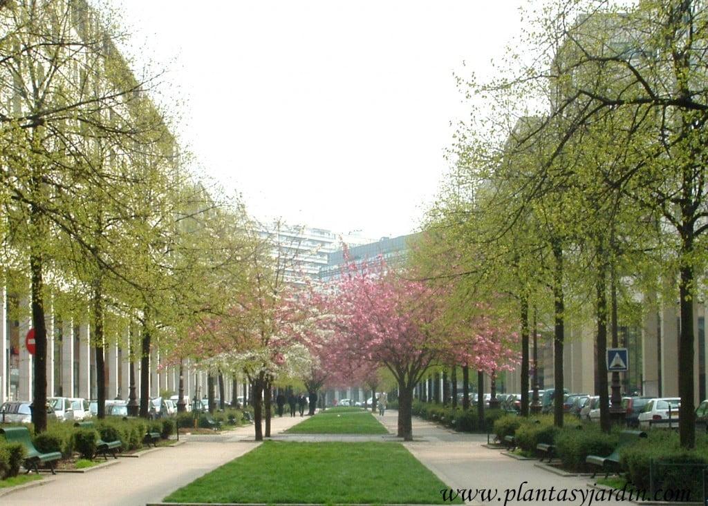 los Prunus, en este caso, generan un límite virtual junto con el camino de césped, dividiendo los caminos, generando contrastes de colores entre ellos y con los árboles plantados a sus laterales, como manchas de colores.