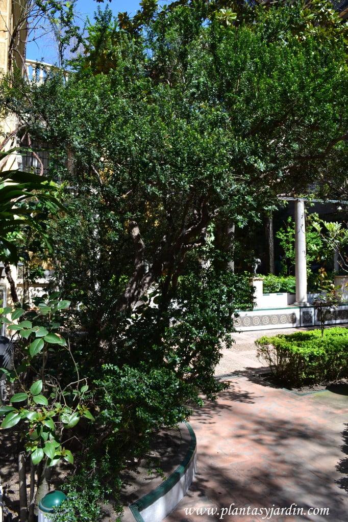 Mirtus communis procedente de La Alhambra y plantado por Sorolla