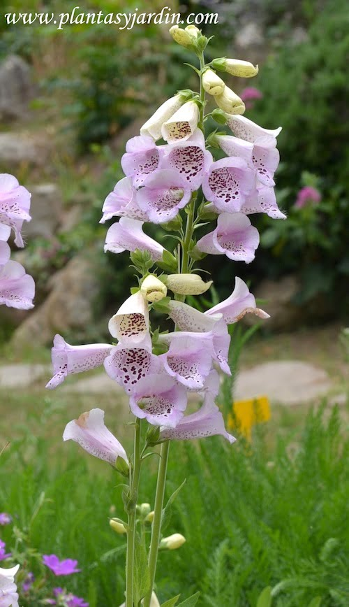 Digitalis purpurea en primavera