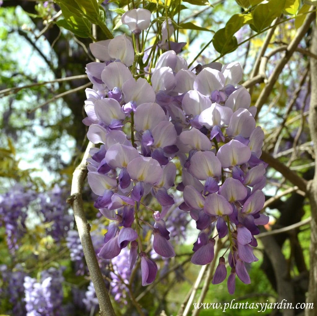 Glicina detalle de la inflorescencia a comienzos de la primavera.