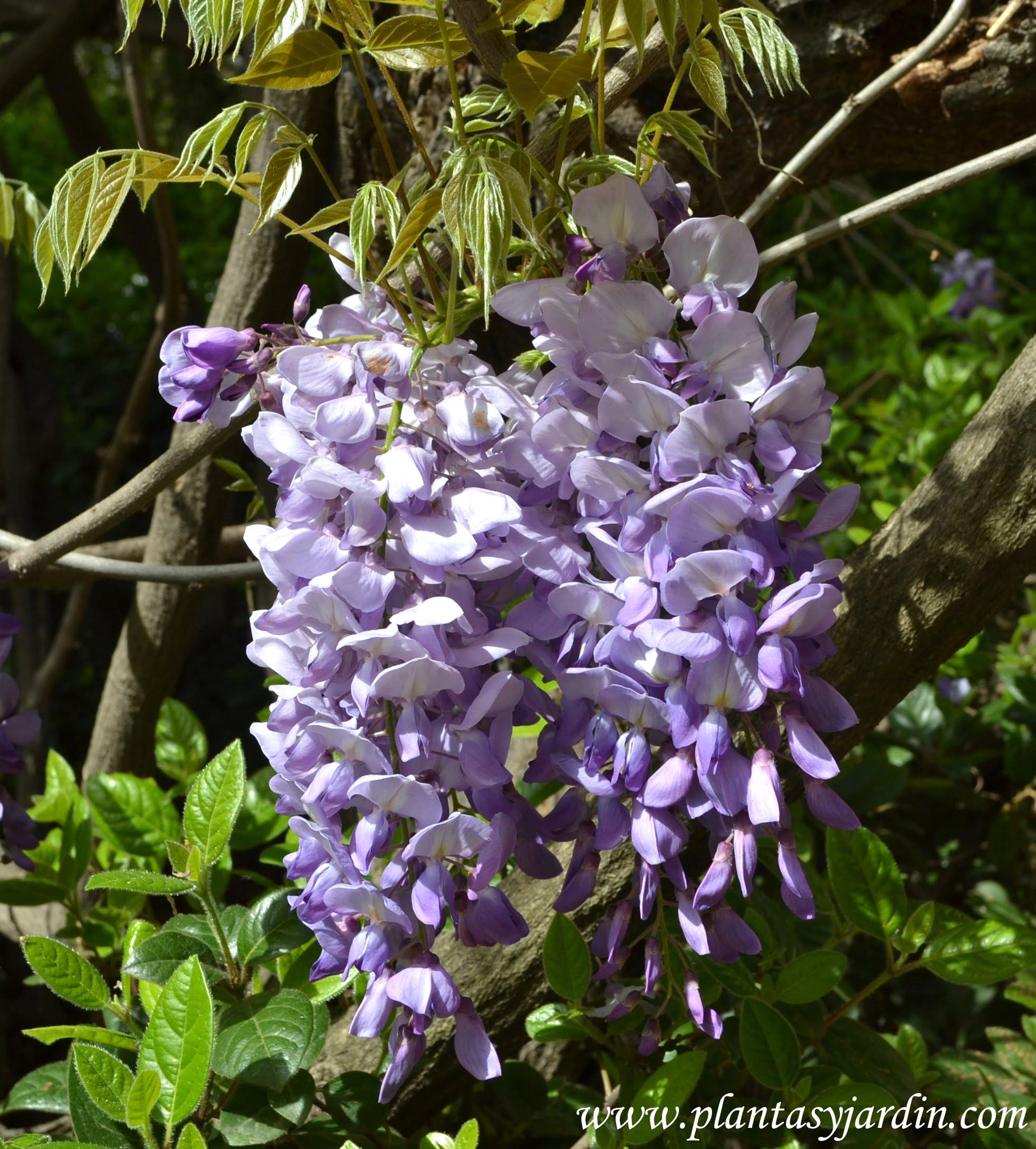 Enredaderas con flores perfumadas plantas jard n for Glicina planta