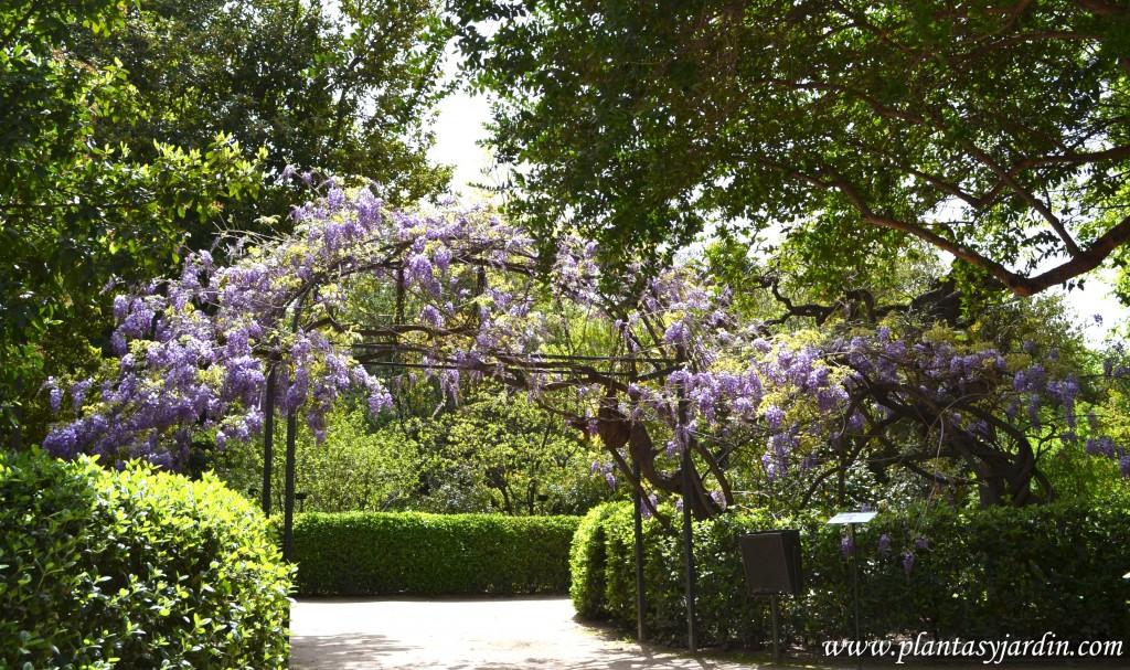 Glicina, ejemplar de 230 toneladas de peso en el Real Jardín Botánico de Madrid.