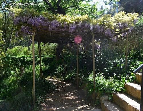 Glicina en el Antic Jardi Botanic de Barcelona