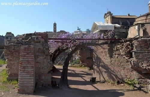 Wisteria sinensis florecida en primavera en el foro romano.