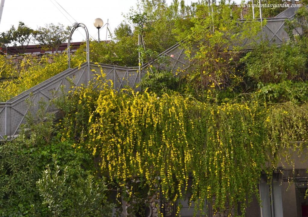 Jasminum mesnyi cultivada en grandes jardineras en terrazas de diferentes niveles.