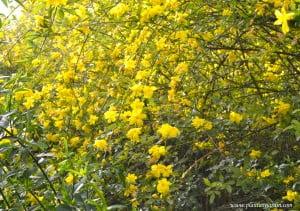 Jasminum mesnyi ramas colgantes florecidas.