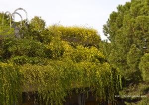Jasminun mesnyi-Jazmin amarillo con efecto de cascada en terrazas de diferentes niveles.