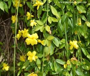 Jasminum mesnyi, detalle de flor, ramas colgantes & follaje.