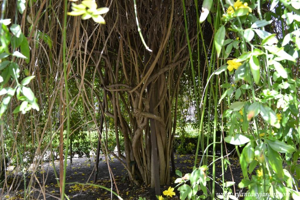 Jasminum mesnyi detalle de tallos leñosos, de una especie adulta.