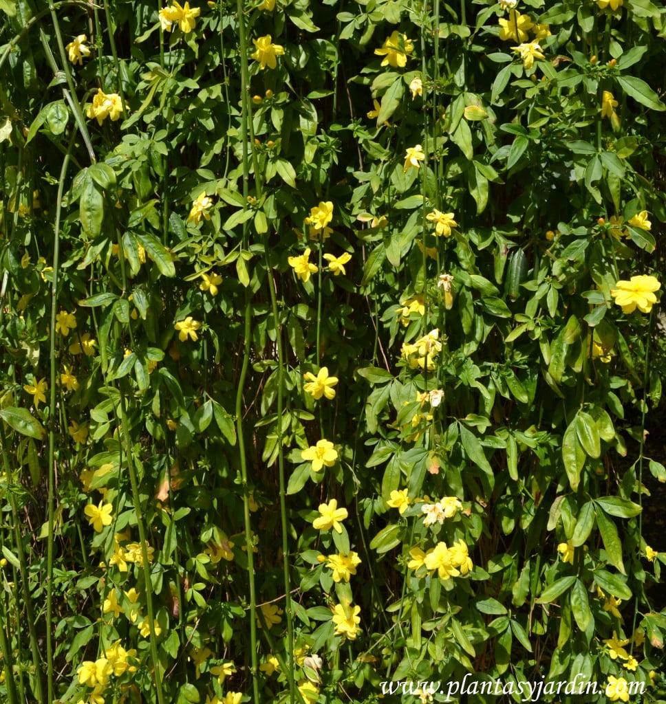Jasminum mesnyi  ramas colgantes y flores semidobles amarillas.