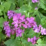 Lunaria annua, detalle de pequeñas flores en primavera.