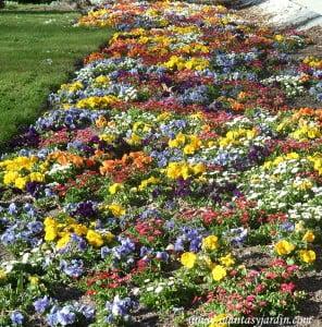 """Plantines """"Pensamientos"""" lilas y amarillos, a la entrada de los Jardines del Templo de Debod-Madrid."""