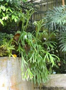 Platycerium bifurcatum- Cuerno de alce, nativo de Australia.