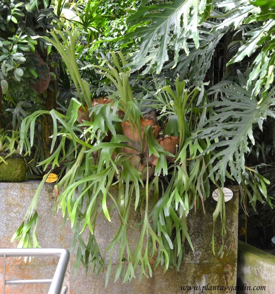 Platycerium bifurcatum, cultivado en invernadero