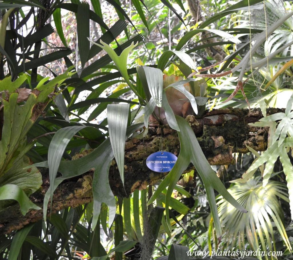 Platycerium bifurcum de crecimiento epífito sobre la rama de un árbol