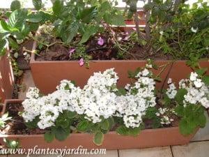 Primula obconica de las pocas que florece a la sombra y 1/2 sombra